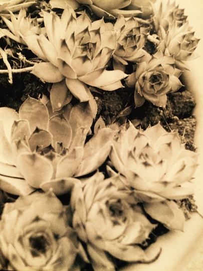 Succulent No. 1 Photography Print
